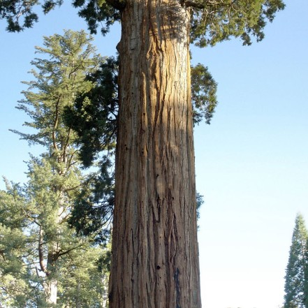 General Grant Tree in Kings Canyon National Park MiguelVieira / Foter / CC BY