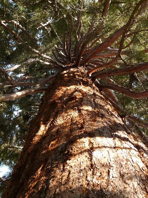 sequoia-7482_640