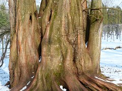 sequoia-93609__180