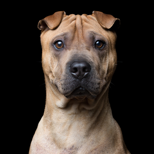 Name+[AgeGender]+(Shar+Pei)+0630